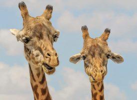 Ny forskning: Giraffer er grove i munden