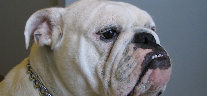 Engelsk bulldog forstår engelsk