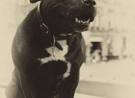 Muskelhundeejernes kønsorganer større end antaget