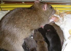 Videnskaben: Muslimer yngler ikke som rotter