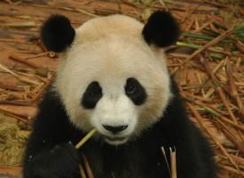 Mand afviser WWF-facer; pandaunge dør