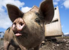 Regeringen forbyder grisefægtning