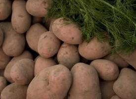 Kartofler gør folk til rygere