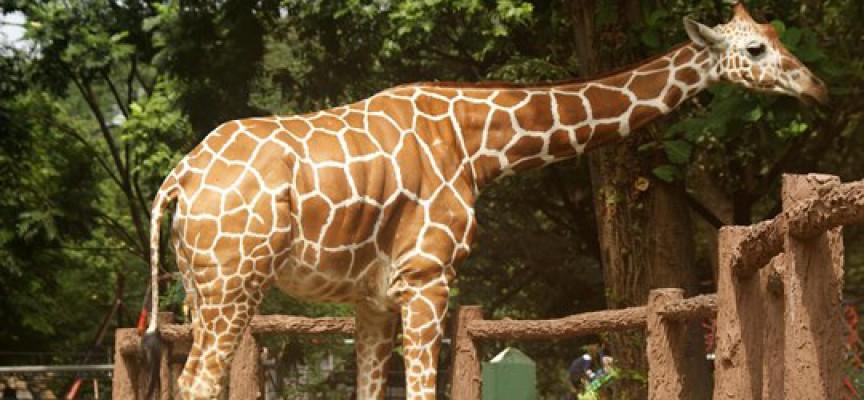 Investeringsbank erkender girafdrab