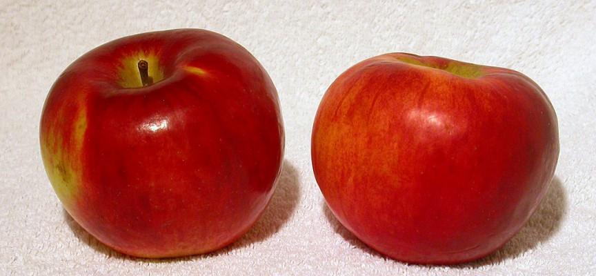 Æbleavler illustrerer æblehøst ved hjælp af æbler