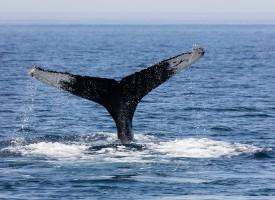 Enlig hval i dansk farvand ikke vildfaren, men introvert med behov for ro