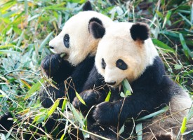Kinesiske pandaer udlånt til Danmark afsløret som spionrobotter