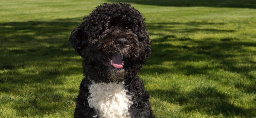 Hillary Clinton taber præsidentvalget til Bo, Obama-familiens hund (fra fremtidsarkivet, 2024)
