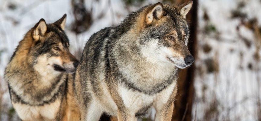 Eksperter advarer: Biologer vil udvandre efter ulveforbud