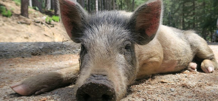 Løkke: EU kommer til at betale for svinehegnet