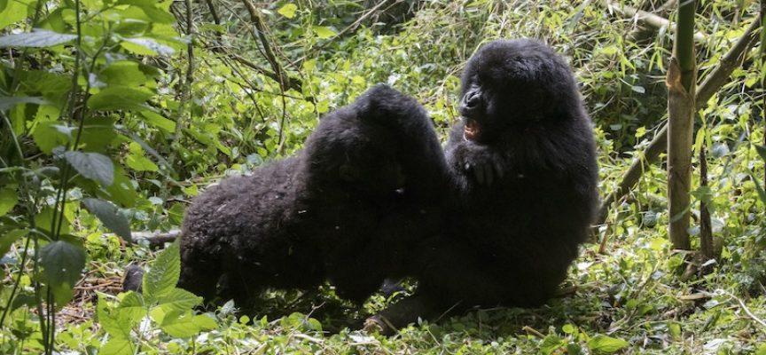 Han-gorillaer: Konkurrencestaten presser os til at slås
