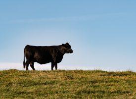 Efter panda-diplomati: Danmark udlejer ko til Kina