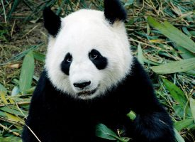 København Zoo afliver og parterer de to kinesiske pandaer