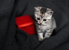 Stop smittespredende overstadighed: Ingen deling af nuttede kattekillinger