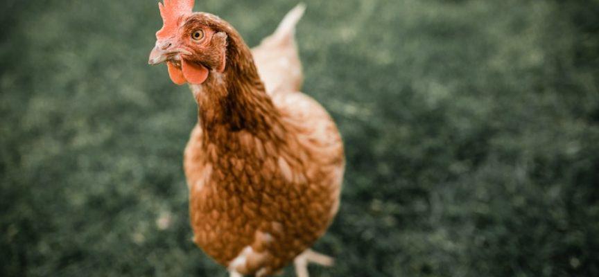 Filosofisk øko-høne: Har jeg virkelig levet et godt liv?