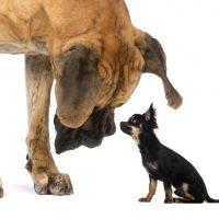 """Opinion: Vi mangler en bagatelgrænse for, hvad vi kalder """"en hund"""""""