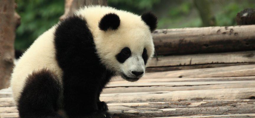 Panda-han i MeToo-opråb: Nej betyder nej